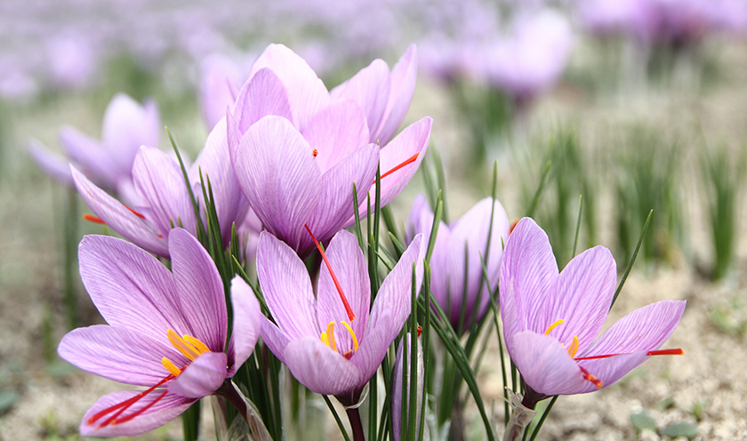 the autumn crocus colchicum byzantinum zionsville in. Black Bedroom Furniture Sets. Home Design Ideas