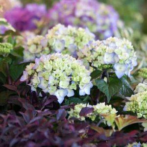 altums-bloomstruck-hydrangea