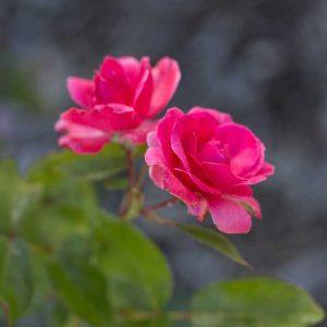 altums-grandmas-blessing-rose