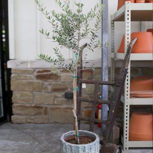 Altum's Olive Tree
