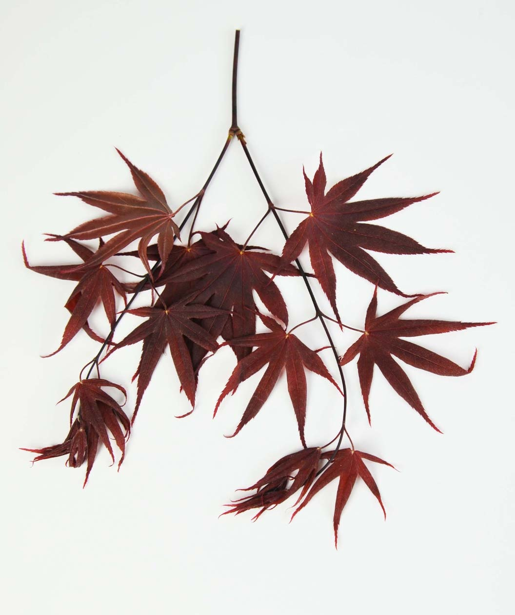 Bloodgood Japanese Maple Altum S Zionsville In