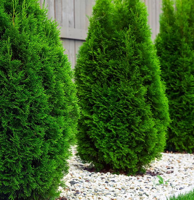 emerald arborvitae altum s garden center zionsville in