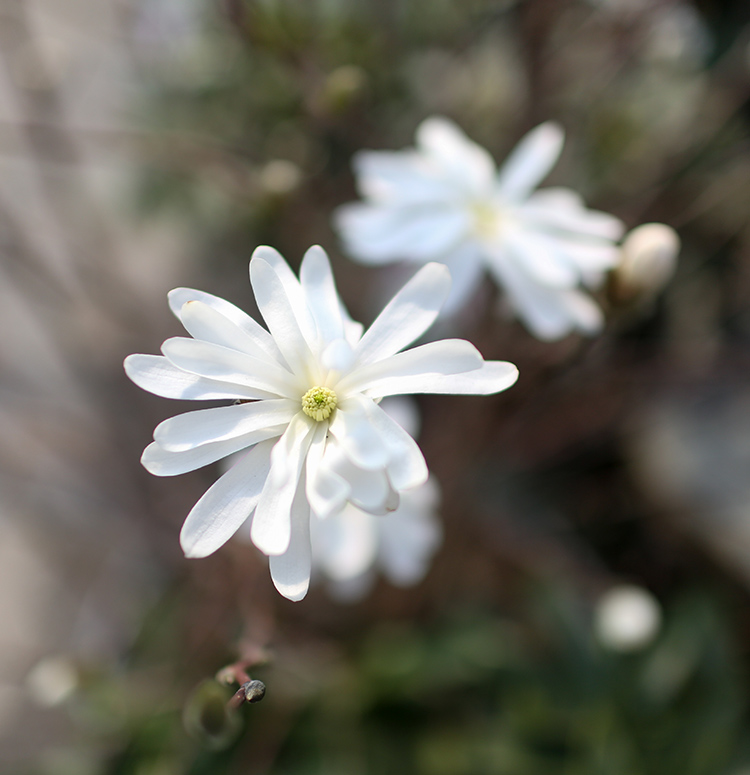 royal star magnolia