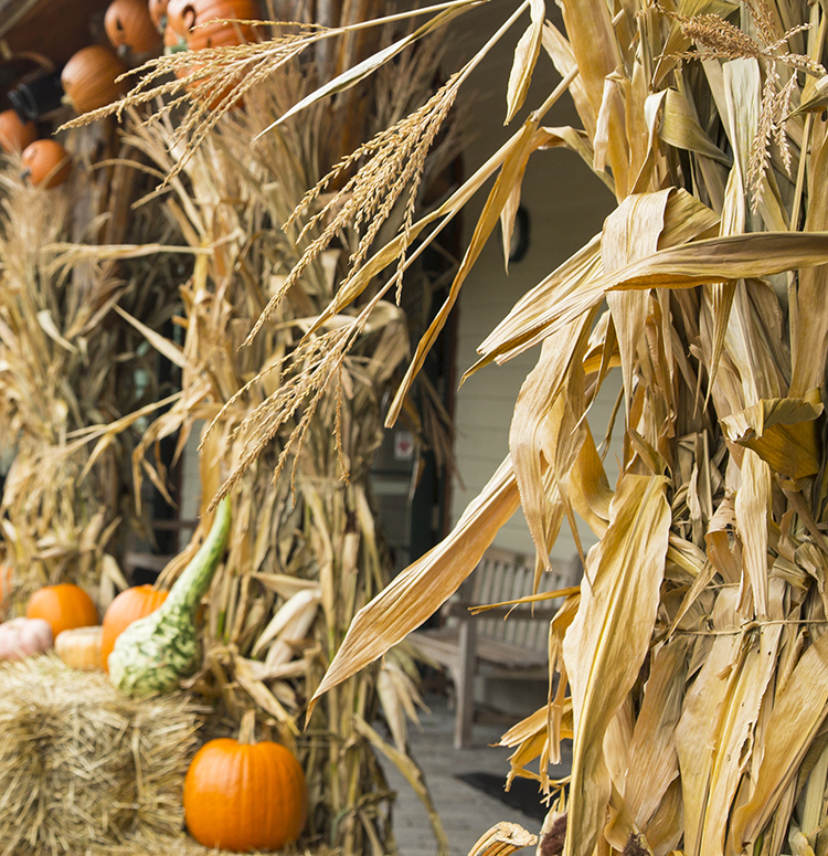 Corn Stalks Altum S Zionsville In Julie placed a stalk of corn on her front porch for an autumn decoration. corn stalks