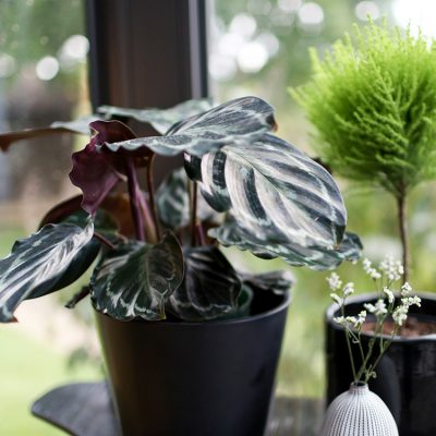 Medallion Prayer Plant