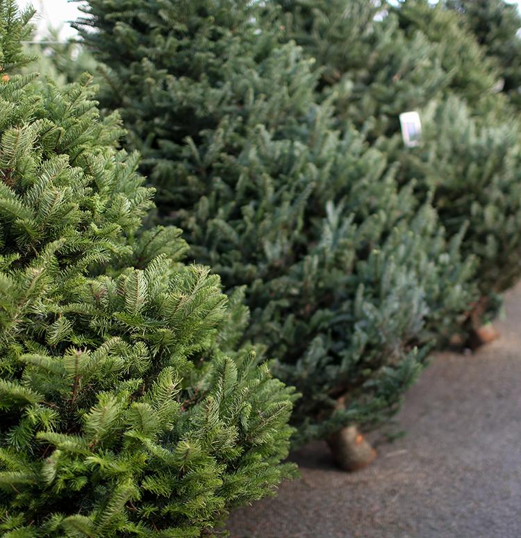 ... Fraser Fir Christmas Tree. 🔍. Previous - Fraser Fir Christmas Tree Altum's Zionsville, IN
