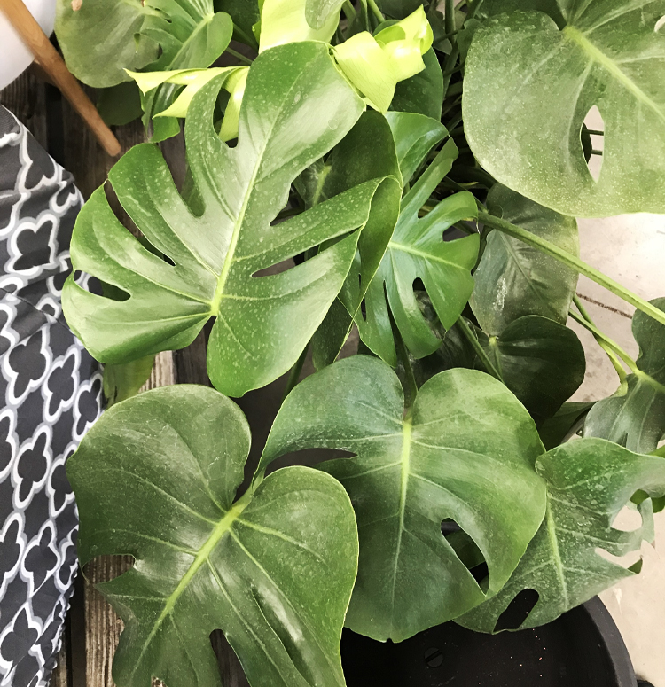 Monstera Altum S Zionsville In,How To Make Mexican Rice In Rice Cooker