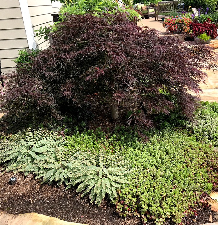 Tamukeyama Weeping Japanese Maple Altum S Zionsville In