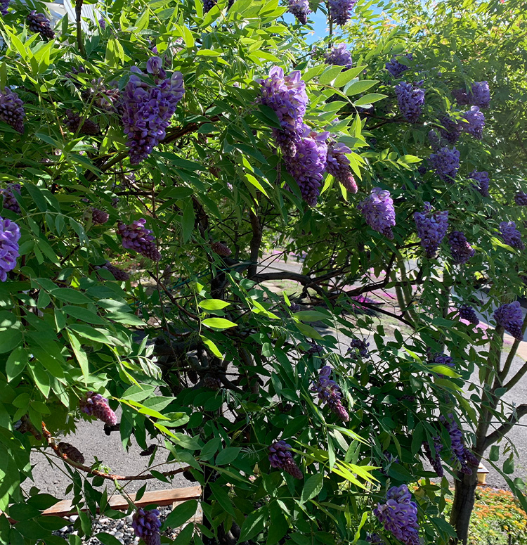 how to plant amethyst falls wisteria