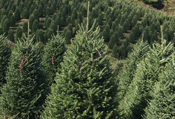 7 Things That Might Change Your Mind About Where You Find Your Tree This Year